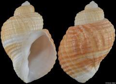 Massyla cumingiana (Pacific Panama, 35,1mm)