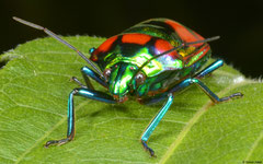 Jewel bug (Scutelleridae sp.), Balut Island, Philippines
