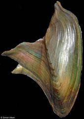 Hyriopsis bialatus (Thailand, 70mm)