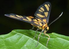 Wasp moth (Amata sp.), Olango Island, Philippines