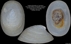 Cocculinidae sp. nov. (Juan de Fuca Canyon, 3,3mm)