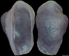 Pedicularia pacifica (Philippines, 4,0mm)