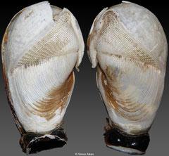 Parapholas calva (Panama, 53mm)