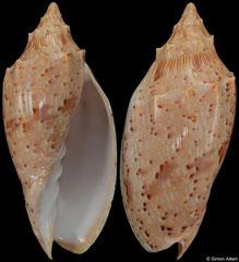 Cymbiola complexa (Queensland, Australia, 88,9mm)