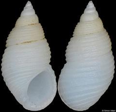Planaxis suturalis (Philippines, 7,8mm)