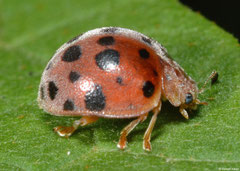 Twenty-eight-spot ladybird (Henosepilachna vigintioctopunctata), Lakxao, Bolikhamsai Province, Laos