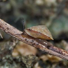Geophorus agglutinans albocarinata (Aliguay Island, Mindanao, Philippines)