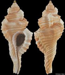 Cymatium tripus (India, 66,1mm)