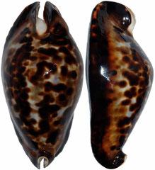 Cypraea friendii (Western Australia, 91mm)