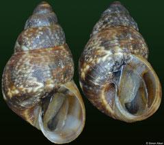 Omphalotropis littorinula (Rodrigues Island, 5,8mm)