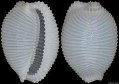 Trivellona abyssicola (Philippines, 8,6mm)