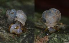 Dioryx sp. nov. (L105 between Chomthong and Pakha, Bolikhamsai Province, Laos)
