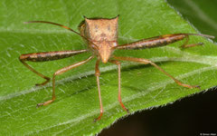 Leaf-footed bug (Coreidae sp.), Bokor Mountain, Cambodia