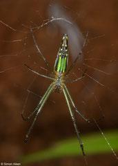 Orchard spider (Leucauge undulata), Sahafina, Madagascar