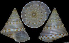 Calliostoma poppei (Philippines, 10,0mm)