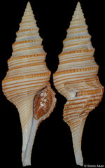 Gemmula sikatunai (Philippines, 68,6mm)