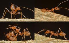 Weaver ants (Oecophylla smaragdina), Olango Island, Philippines