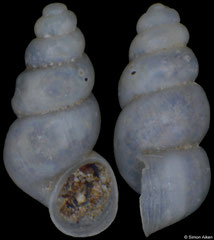 Imeretiopsis nakeralaensis (Georgia, 1,8mm) (paratype)