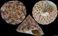 Trochus nigropunctatus (South Africa, 24,1mm)