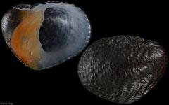 Neritona granosa (Hawaii, 30,1mm)