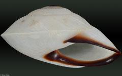 Chloraea dryope (Philippines, 22,0mm)