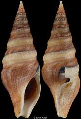 Clavatula taxea (South Africa, 76,4mm)