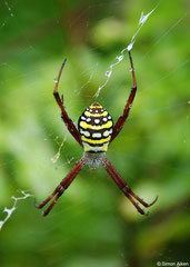 Orb-weaver (Argiope keyserlingi), New Georgia, Solomons