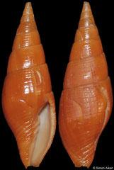 Isara aikeni (South Africa, 23mm)