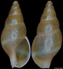 Pareuthria janseni (Argentina, 9,8mm)