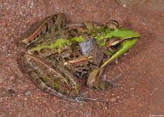 Mascarene grass frog (Ptychadena mascareniensis), Mantadia, Madagascar