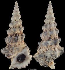 Cerithium nodulosum (Tonga, 86,2mm) F++ €3.50