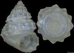 Tibatrochus husaensis (Philippines, 4,6mm)