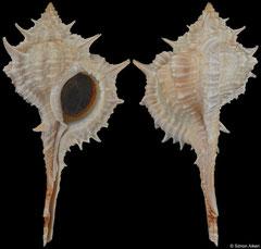 Vokesimurex samui (Belize, 73,7mm)