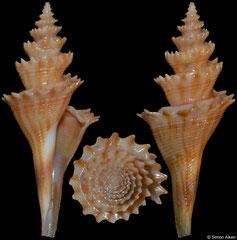 Cochlespira elongata (Brazil, 32,9mm)
