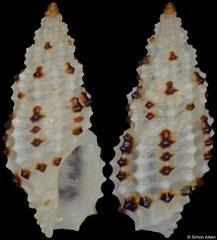 Pseudodaphnella lineata (Philippines, 6,8mm) F+++ €8.00
