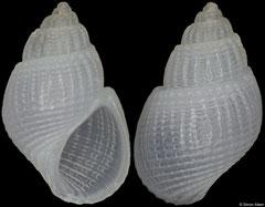Alvania lactea (Italy, 4,5mm) F+++ €3.50