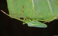 Shield bug (Pentatomidae sp.), Balut Island, Philippines