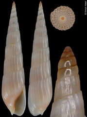 Hastula leloeuffi (Angola, 22,9mm) F++ €9.50 (specimens for sale are 22.3-22.9mm and are of the same quality as the specimen illustrated)