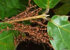 Weaver ants (Oecophylla smaragdina), Krong Kaeb, Cambodia