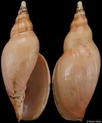 Alcithoe pseudolutea (New Zealand, 96,4mm) F+ €180.00