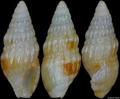 Clavus pusilla (Philippines, 3,9mm)