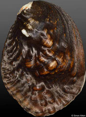 Lamprotula caveata quadrangulosus (China, 71mm)