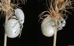 Weevil (Myllocerus sp.), Broome, Western Australia