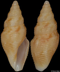 Tropidoturris simplicicingula pondo (South Africa, 12,5mm) F+ €8.50 (specimens for sale are 12mm and are of the same quality as the specimen illustrated)