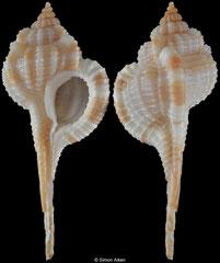 Vokesimurex multiplicatus (Western Australia, 48,5mm) F+++ €30.00