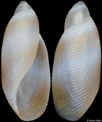 Rictaxiella debelius (Philippines,  8,4mm)