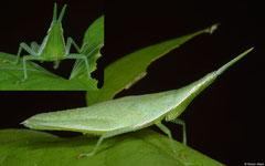 Grasshopper (Atractomorpha crenulata), Balut Island, Philippines