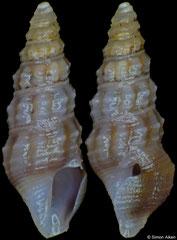 Ceritoturris pamina (Philippines, 4,9mm)