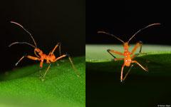 Assasin bug (Reduviidae sp.) nymph, Chomthong, Bolikhamsai Province, Laos