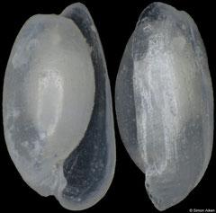 Aliculastrum exaratum (Pacific Mexico, 3,3mm) F++ €6.00